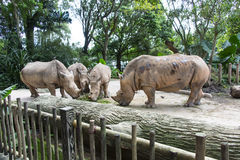 Rhinos in Zoo. Group of rhinoceros inside the zoo open enclosure Stock Photo
