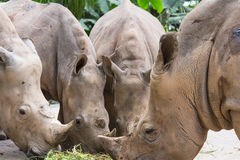 Rhinos in Zoo. Group of rhinoceros inside the zoo open enclosure enjoying grass food Royalty Free Stock Photo