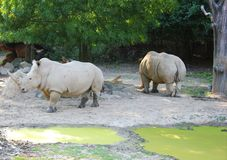 Rhinos. In zoo royalty free stock photos