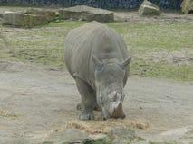 Rhinosaurus äta Arkivfoto