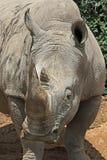 Rhinosaurus Stock Images