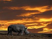 Rhinoseros con il cielo di tramonto Fotografie Stock Libere da Diritti