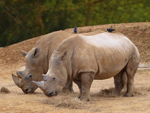 Rhinoserus Royalty Free Stock Image