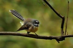 Rhipidura fuliginosa -杉状尾-在毛利人语言的piwakawaka -坐在新西兰的森林里 免版税库存图片