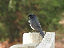 Rhipidura leucophrys (Willie Wagtail) Stock Images