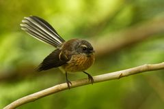 Rhipidurafuliginosa - Fantail - piwakawaka in Maoritaal - zitting op de tak in het bos van Nieuw Zeeland royalty-vrije stock foto