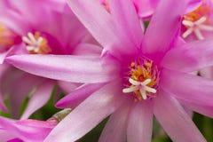 Rhipsalidopsis λουλουδιών στοκ φωτογραφίες