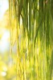 Rhipsalis кактуса Стоковое Изображение RF