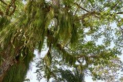 Rhipsalis baccifera Mistelzweigkaktus auf einem großen Baum im tropischen Regenwald von Guyana, Südamerika stockfoto