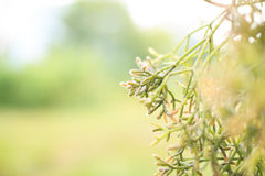 Rhipsalis pilocarpa Kaktus Stockfoto