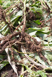 Rhizobium γνωστό επίσης ως βακτηρίδια ρίζας νουντλς Στοκ Φωτογραφίες