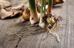 Rhizome of galangal on old wooden Royalty Free Stock Photography