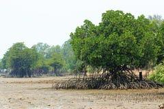 Rhizophora美洲红树Mudflats 库存照片