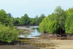 Rhizophora美洲红树Mudflats 免版税图库摄影