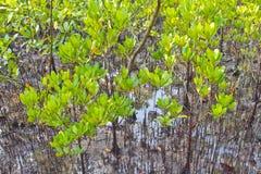 Rhizophora μαγγροβίων Στοκ Φωτογραφίες