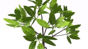 Rhizophora. Is a genus of tropical mangrove trees, sometimes collectively called true mangroves stock photography