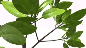 Rhizophora. Is a genus of tropical mangrove trees, sometimes collectively called true mangroves royalty free stock image