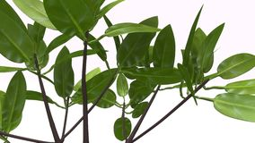 Rhizophora. Is a genus of tropical mangrove trees, sometimes collectively called true mangroves royalty free stock photo