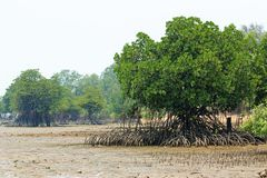Rhizophora Mangrove Mudflats Stock Photo