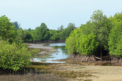 Rhizophora Mangrove Mudflats Royalty Free Stock Photography