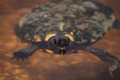 Rhizophorarum водяной черепахи Malaclemys с ромбовидным рисунком на спине водяной черепахи мангровы Стоковая Фотография