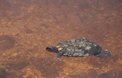 Rhizophorarum водяной черепахи Malaclemys с ромбовидным рисунком на спине водяной черепахи мангровы Стоковые Фотографии RF