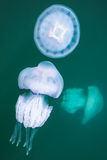 Rhizostoma Επικίνδυνες μέδουσες στο νερό Στοκ Εικόνες