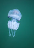 Rhizostoma. Dangerous jellyfish of Black sea Stock Image