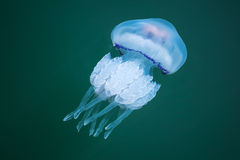 Rhizostoma. Dangerous jellyfish Royalty Free Stock Photo
