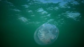 Rhizostoma pulmo, commonly known as the barrel jellyfish, the dustbin-lid jellyfish or the frilly-mouthed jellyfish. Rhizostoma pulmo, floating in the water stock video footage