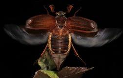 rhizotrogus majalis жук-чефера европейское Стоковая Фотография RF