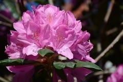 Rhodadendran kwiat Fotografia Royalty Free