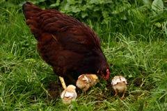 Rhode - galinha & pintainhos do console fotos de stock royalty free