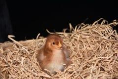 Rhode Island Red Baby Chick Fotos de archivo