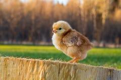 Rhode Island Red Chick su una fetta di cedro fotografia stock libera da diritti
