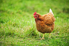 Rhode Island Red Chicken Arkivfoto