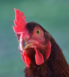 Rhode Island Red Chicken Head Imagem de Stock Royalty Free