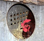 Rhode Island Red Chicken in Nesting Box. Close-up of a Rhode Island Red chicken in its nesting box with a circular opening royalty free stock photo
