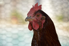 Rhode Island Red chicken. Poultry beautiful American breed royalty free stock image