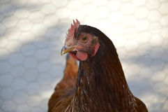 Rhode Island Red chicken. Poultry beautiful American breed stock photos