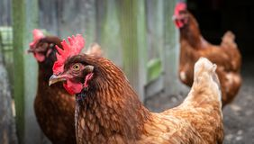 Rhode Island Red Chickens. A small flock of Rhode Island Red chickens in a pen royalty free stock image