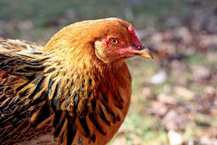 Rhode Island Red Hen. Beed of chicken called Rhode Island Red in a rural barnyard with Autumn leaves in background Stock Images