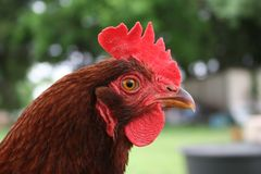 Rhode Island Red Hen. Free range Rhode Island Red hen portrait royalty free stock photos