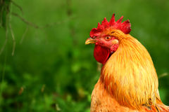 Rhode island red rooster. A rhode island red rooster royalty free stock photos
