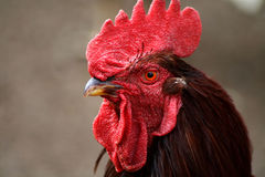 Rhode Island Red Rooster Royalty Free Stock Images