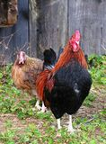 Rhode Island Red rooster. At a farm royalty free stock photography