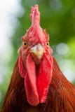 Rhode Island Red Rooster close up Stock Photo