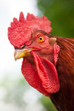 Rhode Island Red Rooster close up. Close up of a Rhode Island Red rooster chicken face with red comb and wattle stock image