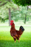 Rhode Island Red Rooster Royalty Free Stock Photo