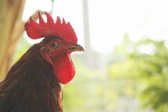 Rhode island red Royalty Free Stock Photography
